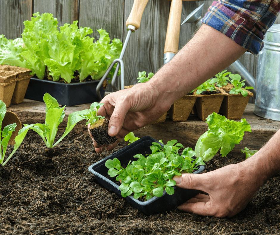 planting small vegetable plants