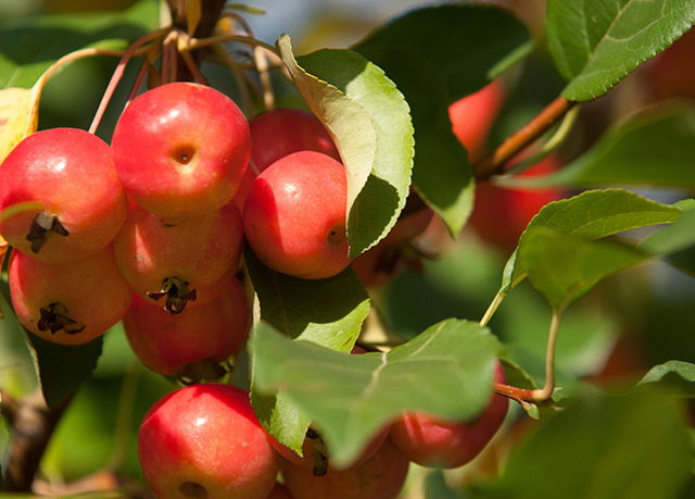 Crabapple Sources Health Benefits Nutrients Uses And