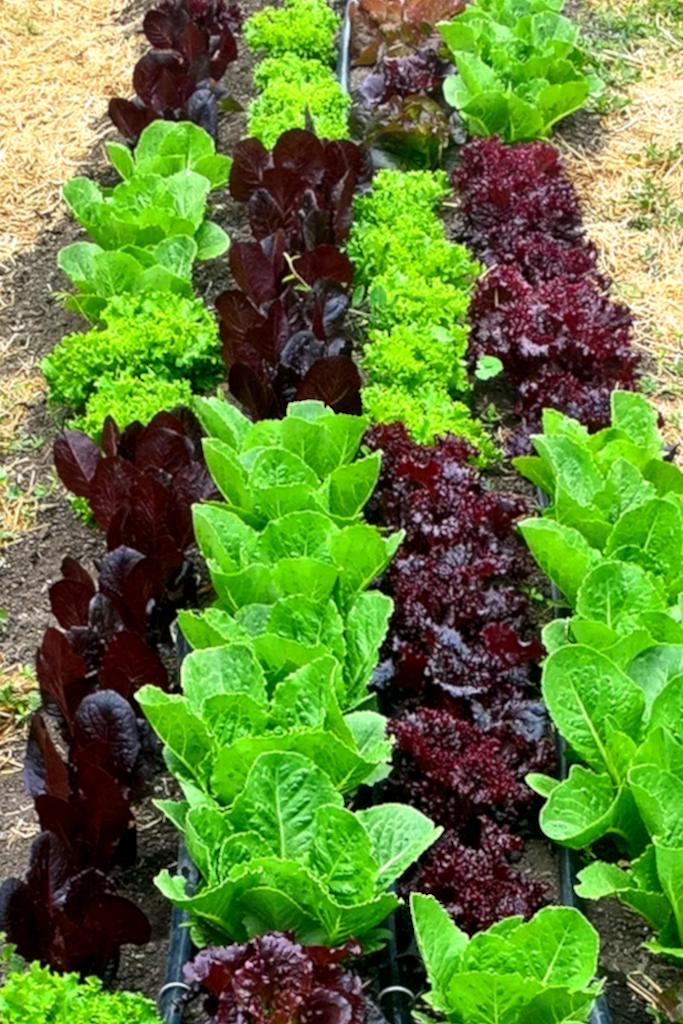 Lettuce Sowing Growing And Caring For The Many Varieties All Year Long