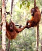 The orangutan: the only great ape with a known fossil record.