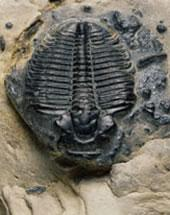 Over 100 families of marine invertebrates, including trilobites, died out at the end of the Ordovician period.