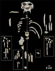 Complete bones and large bone fragments of the P. catalunicus skeleton.