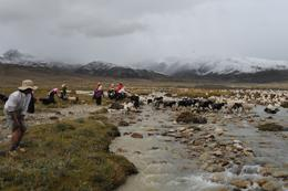 Locals on the Tibetan plateau with cattle.