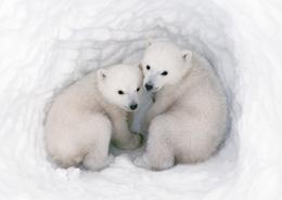 Polar bears are safe from the effects of climate change — for now.Jenny E. Ross/Corbis