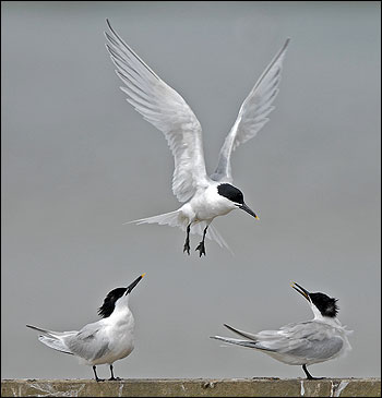 Sandwich Terns - credit Jon Evans