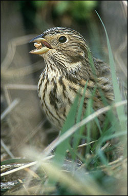 Corn bunting Miliaria calandra - Andy Hay (rspb-images.com)