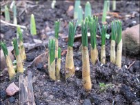 Shoots from bulbs