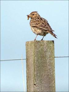 A skylark perched on a fence post with a caterpillar in its bill. Pic Chris Gomersall (rspb-images.com)