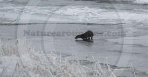 otter on the river Eden
