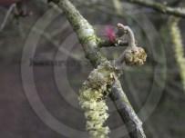 Female Common Hazel Flower