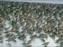 Knot flock - Chris Gomersall (rspb-images.com)