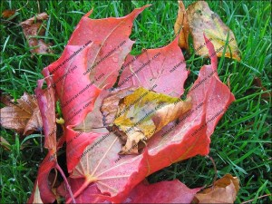 Autumn leaves catch the morning dew