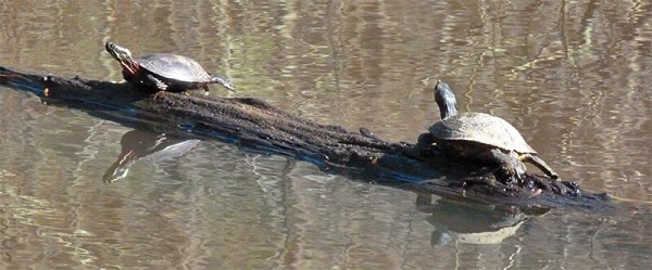 An eastern painted turtle and yellow-bellied slider out for a January bask in the sun.
