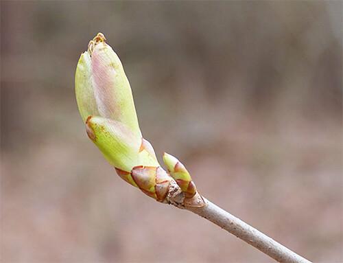 Leaf bud of buckeye.