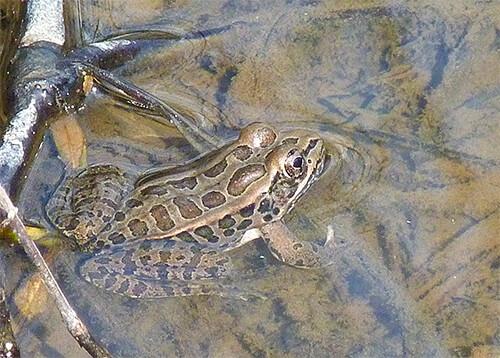Pickerel frog.