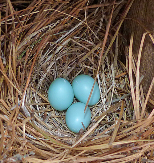This nest may be added to over the next few days (4/5/16).