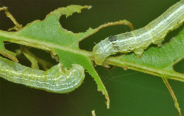 Two green specimens on buckeye. The head of one (left), the abdomen of another, showing 3 pair of prolegs.