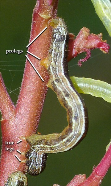 Three pair of prolegs (caterpillar is facing downward).