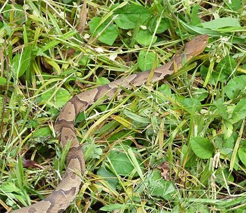Copperhead in grass.