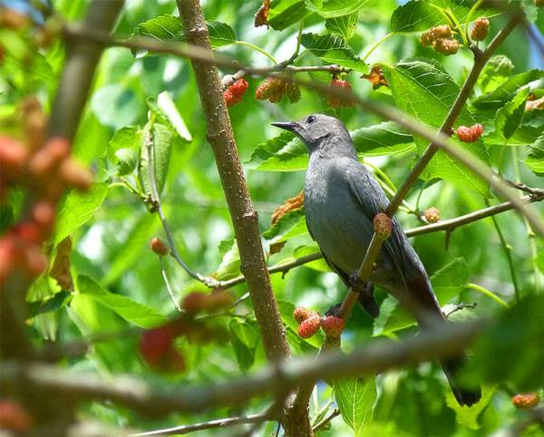 Grey catbird picking out a mulberry to gulp.