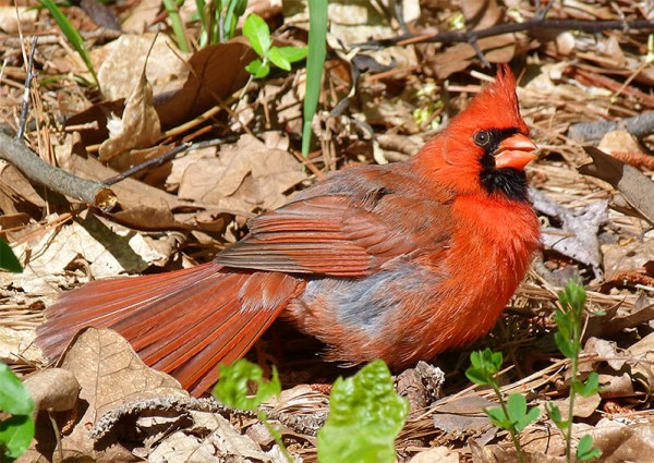 Northern cardinal anting/sunning.