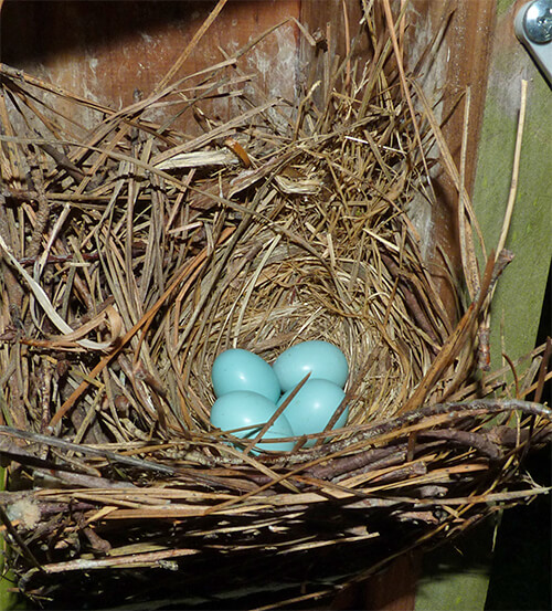 Four bluebird eggs at Cow Pasture (6/28/16).