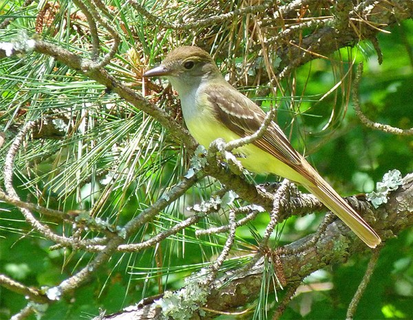 There were at least five of these flycatchers hovering around the Sailboat Pond.