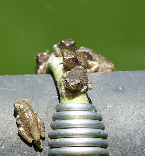 A half-dozen maturing gray treefrogs.