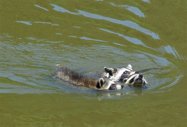 The cub caught the pair at halfway point in swim.