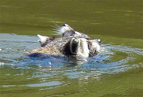 Mother raccoon with young on first swim.