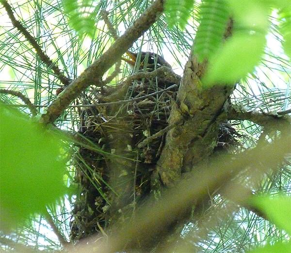 "A ""wild"" robin's nest."