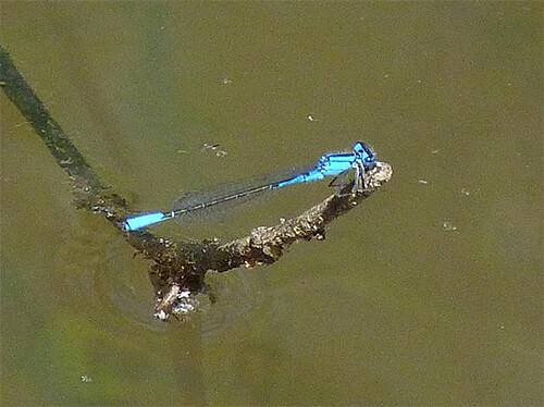 Azure bluet (male).
