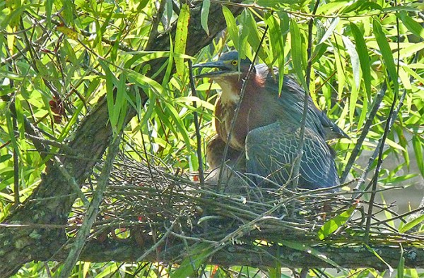 Third egg hatches, parent shields young from morning sun (July 21).