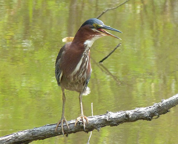 One of the adult herons pants while standing on branch near the nest (August 2).