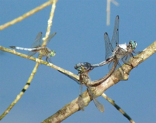 A pair of mating great blue skimmers with smaller blue dasher on left.