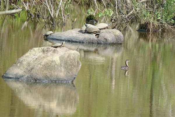 Pied-billed grebe among the yellow-bellied sliders.