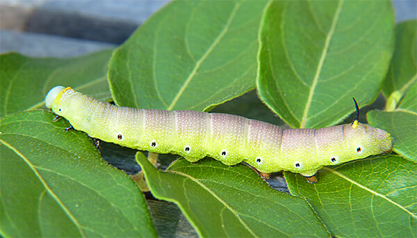 Snowberry clearwing caterpillar.