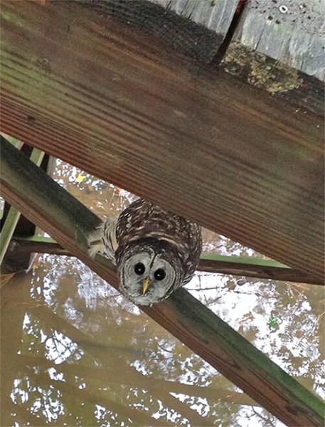 Boardwalk barred owl (9/21).