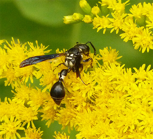 Potter wasp on goldenrod.