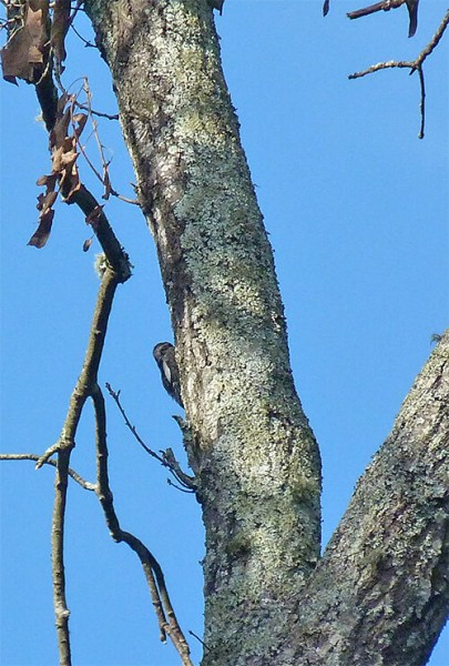 The bump on the left of the main trunk is a yellow-bellied sapsucker.