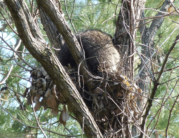 Gray furry creature snoozing on squirrel's nest.