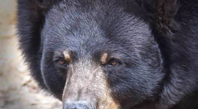 Learn About Black Bears at the Wildlife Park in June
