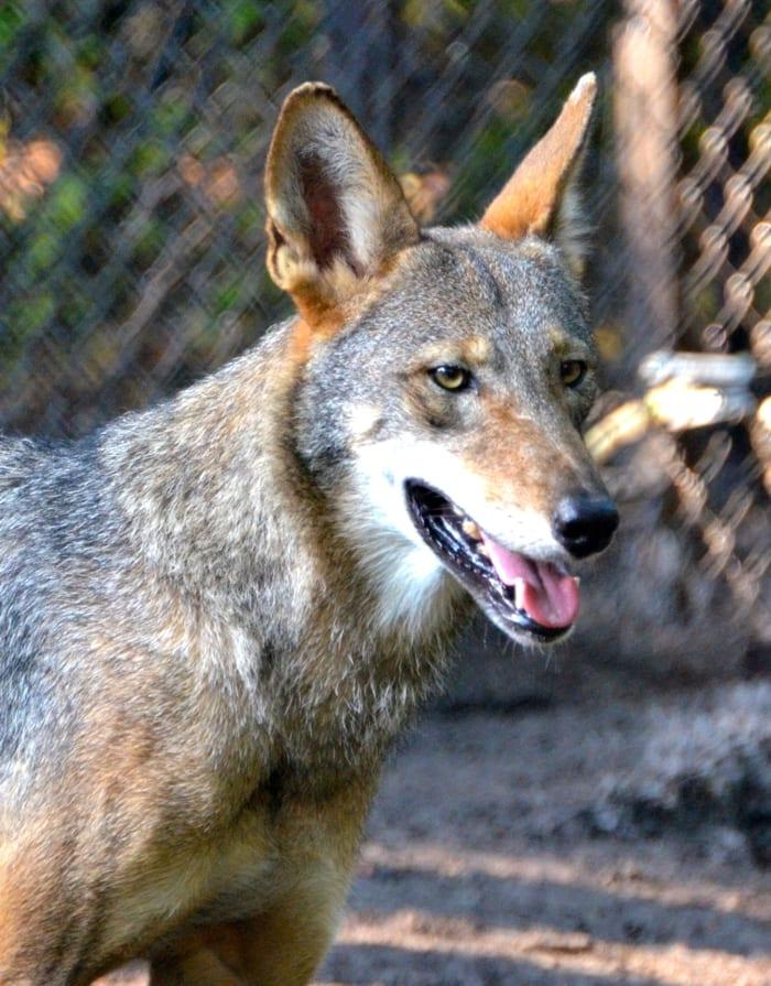 red wolf close up by Joe Dube