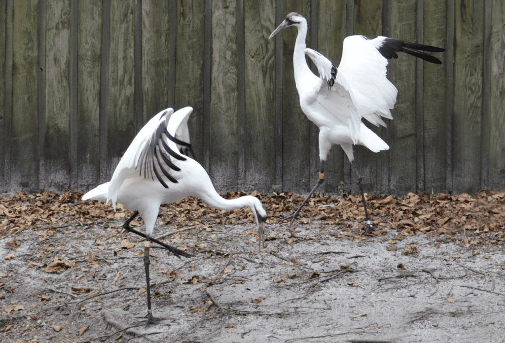 Whooping Crane 06 by Ralph Bischoff