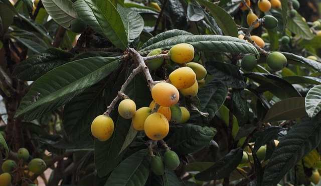 Florida Loquat Festival to be held 4/8 in NPR