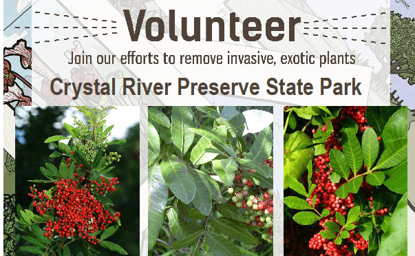 Help Pull Invasive Brazilian Peppers 3/18