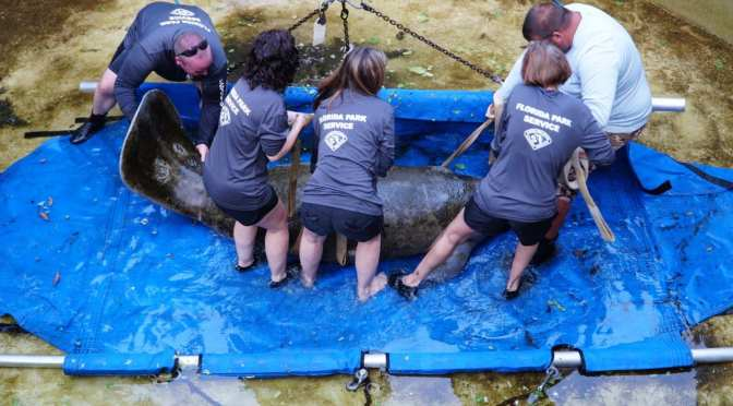 Manatee Successfully Rehabbed and Released