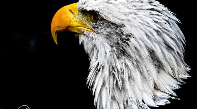 Bald Eagles Featured at Homosassa Springs Wildlife State Park for July