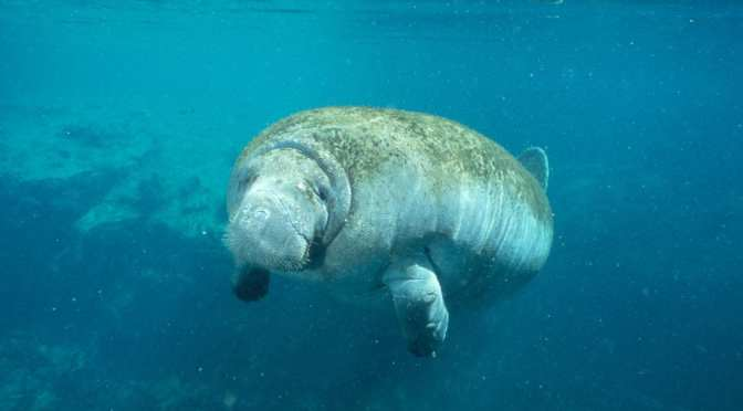 Manatees swim into spotlight at Wildlife Park