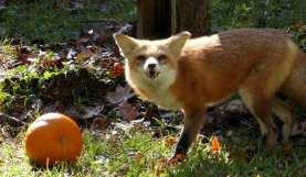 """""""Mine - all mine,"""" sneers Swiper the Red fox."""